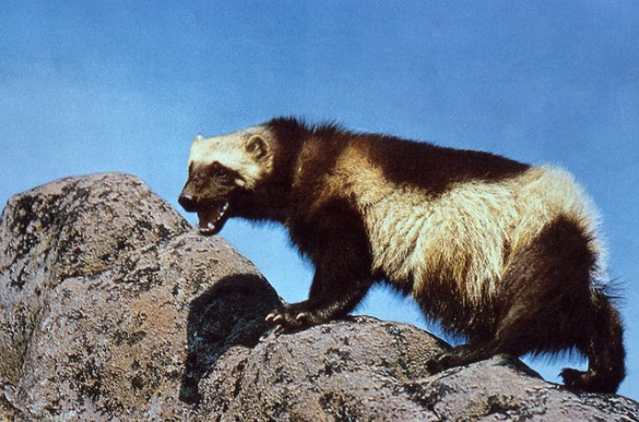 Wolverine - Marvel doesn't have a good press kit and is pretty litigious. Image Credit : NPS